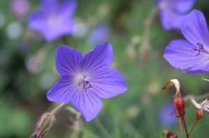 geranium-pratense