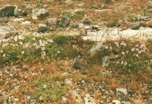 Foto 2. E. celtibericum P.to Cabigordo. @ D. van Assum, 2002