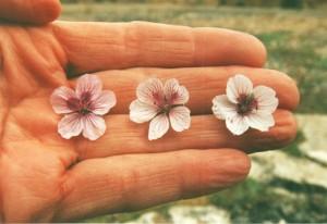 Foto 3. Drie varianten van E. celtibericum, @ D. van Assum, 2002