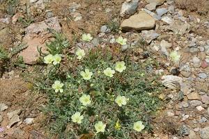 Erodium chrysanthum DvA