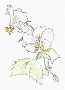 Geranium phaeum ©: Rein ten Klooster