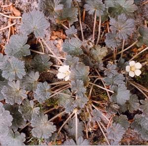 Geranium sessiliflorum 'Nigricans' ©: Rein ten Klooster