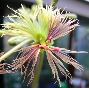 p woodii bloem