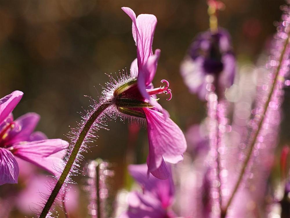 Bloem van een in 2012 bloeiende Geranium maderense | Foto: Harry Boven
