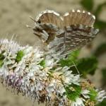 cacyreus_marshalli geraniumblauwtje