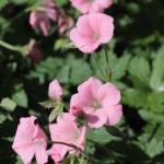 G. endressi 'Wargrave Pink'