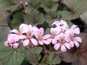 Pelargonium helmsii