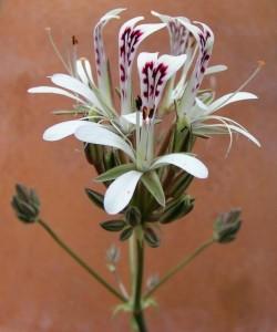 P. curviandrum 2