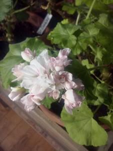 <i>Pelargonium</i> 'Milden'