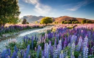 Mass of naturalised Lupins along a river bank near Tekapo, Canterbury, New Zealand in summer.